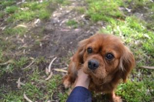 banksia-park-puppies-honey-17-of-33