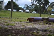 banksia-park-puppies-honey-19-of-33