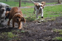 banksia-park-puppies-honey-2-of-33