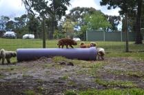 banksia-park-puppies-honey-20-of-33