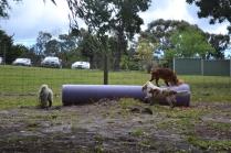 banksia-park-puppies-honey-21-of-33