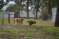 banksia-park-puppies-honey-25-of-33