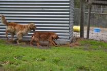 banksia-park-puppies-honey-26-of-33