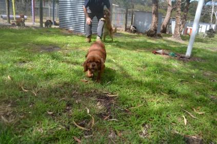 banksia-park-puppies-honey-29-of-33