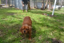 banksia-park-puppies-honey-30-of-33