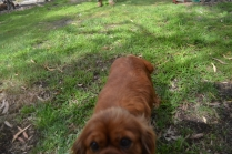 banksia-park-puppies-honey-31-of-33