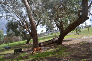 banksia-park-puppies-honey-33-of-33