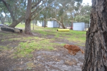 banksia-park-puppies-honey-4-of-33
