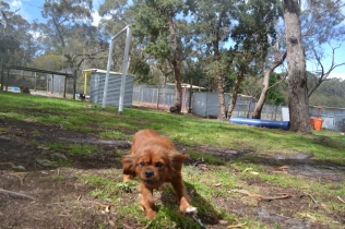 banksia-park-puppies-honey-5-of-33