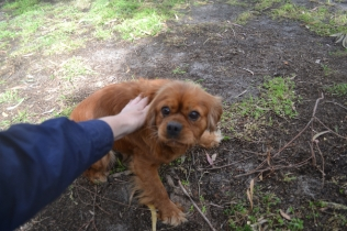 banksia-park-puppies-honey-6-of-33