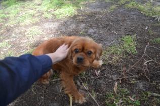 banksia-park-puppies-honey-6-of-33