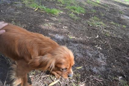 banksia-park-puppies-honey-7-of-33