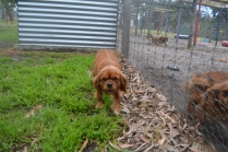 banksia-park-puppies-honey-8-of-33