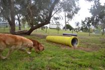 banksia-park-puppies-honey-9-of-33