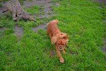 Banksia Park Puppies Salli - 8 of 22