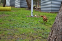 banksia-park-puppies-shayla-16-of-41