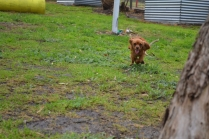 banksia-park-puppies-shayla-17-of-41
