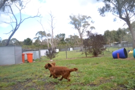 banksia-park-puppies-shayla-30-of-41