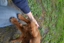 banksia-park-puppies-shayla-39-of-41