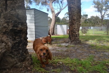 banksia-park-puppies-shayla-41-of-41
