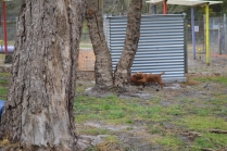 banksia-park-puppies-shayla-7-of-41