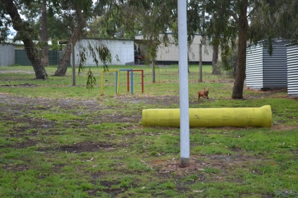 banksia-park-puppies-shayla-9-of-41
