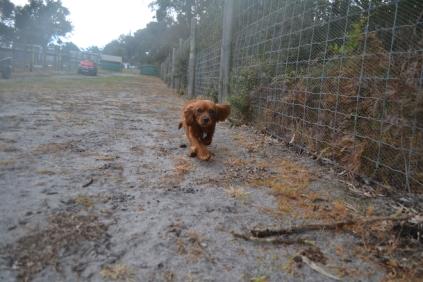 banksia-park-puppies-shiela-12-of-13