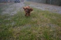 banksia-park-puppies-shiela-3-of-13