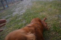 banksia-park-puppies-shiela-4-of-13