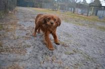 banksia-park-puppies-shona-9-of-21