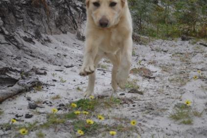 banksia-park-puppies-strawberri-1-of-14