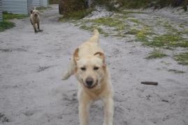 banksia-park-puppies-strawberri-10-of-14