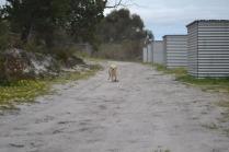 banksia-park-puppies-strawberri-2-of-14