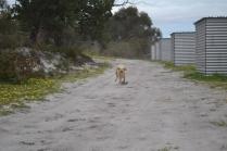 banksia-park-puppies-strawberri-3-of-14