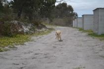 banksia-park-puppies-strawberri-4-of-14
