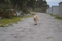 banksia-park-puppies-strawberri-5-of-14