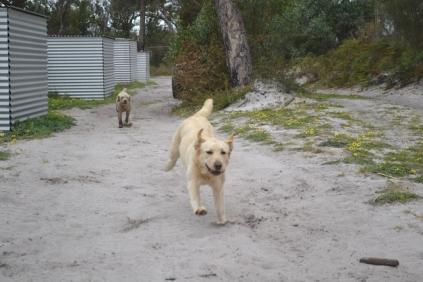 banksia-park-puppies-strawberri-9-of-14