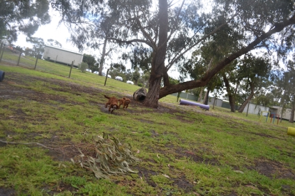 banksia-park-puppies-tanner-1-of-25