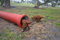 banksia-park-puppies-tanner-13-of-25