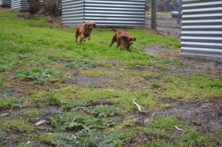 banksia-park-puppies-tanner-16-of-25