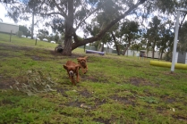 banksia-park-puppies-tanner-3-of-25