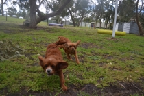 banksia-park-puppies-tanner-4-of-25