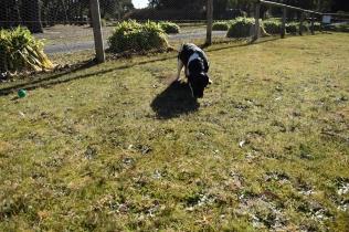 Ludo-Cavador-Banksia Park Puppies - 11 of 41