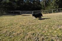 Ludo-Cavador-Banksia Park Puppies - 12 of 41