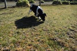 Ludo-Cavador-Banksia Park Puppies - 17 of 41