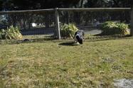 Ludo-Cavador-Banksia Park Puppies - 2 of 41