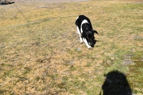 Ludo-Cavador-Banksia Park Puppies - 22 of 41