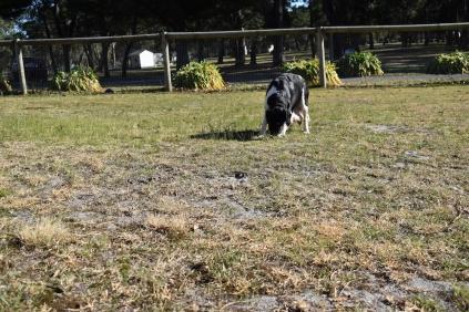 Ludo-Cavador-Banksia Park Puppies - 23 of 41