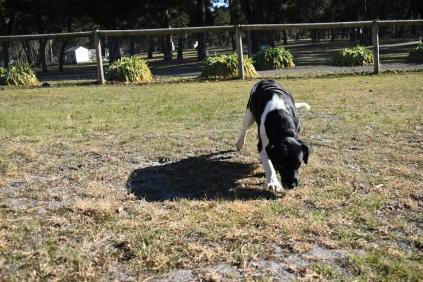 Ludo-Cavador-Banksia Park Puppies - 25 of 41
