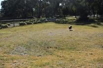 Ludo-Cavador-Banksia Park Puppies - 27 of 41